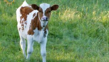 Понад 7 тисяч фермерів отримали дотацію за утримання молодняка ВРХ