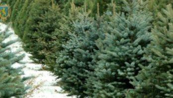 В області новорічні ялинки реалізовуватимуться у заздалегідь визначених місцях