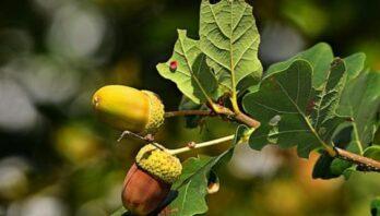 Віковим дубам в лісах ДП «Жовківське лісове господарство» надали статус природоохоронних об'єктів